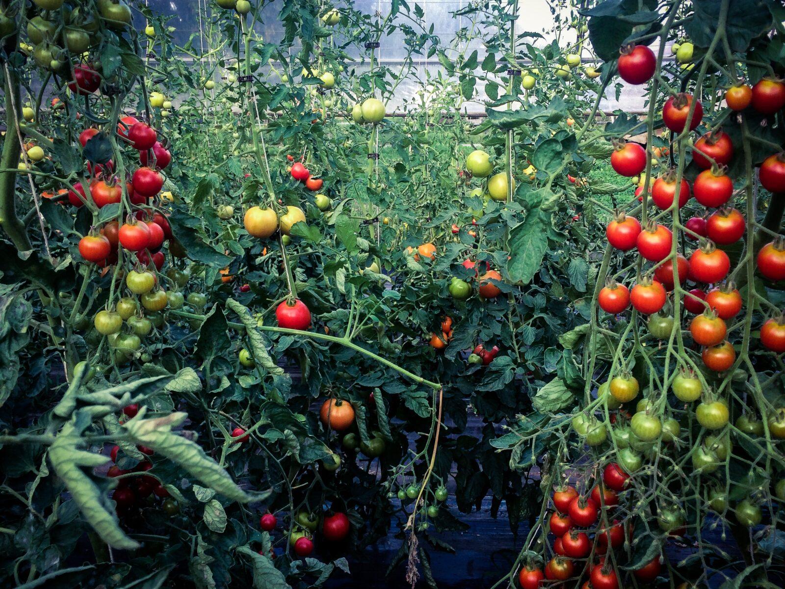 Im Tomaten Wald